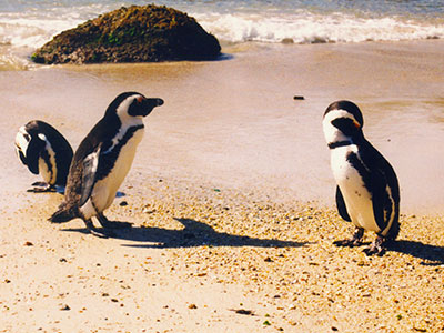 Cape Penguins, Western Cape, South Africa - Steven Andrew Martin