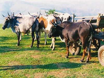 KwaZulu-Natal cattle - Steven Andrew Martin - South Africa Photo Journal