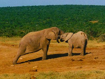 Addo Elephant National Park - South Africa - Dr Steven Andrew Martin - Wildlife Conservation - School for International Training