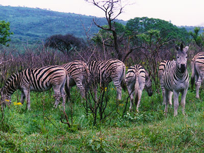 Zebras - Hluhluwe-Umfolozi Game Reserve - Steven Andrew Martin - South Africa Photo Journal