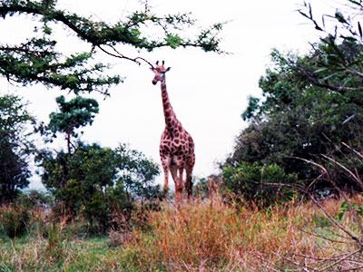 Giraffe - Hluhluwe-Umfolozi Game Reserve - Steven Andrew Martin - South Africa Photo Journal
