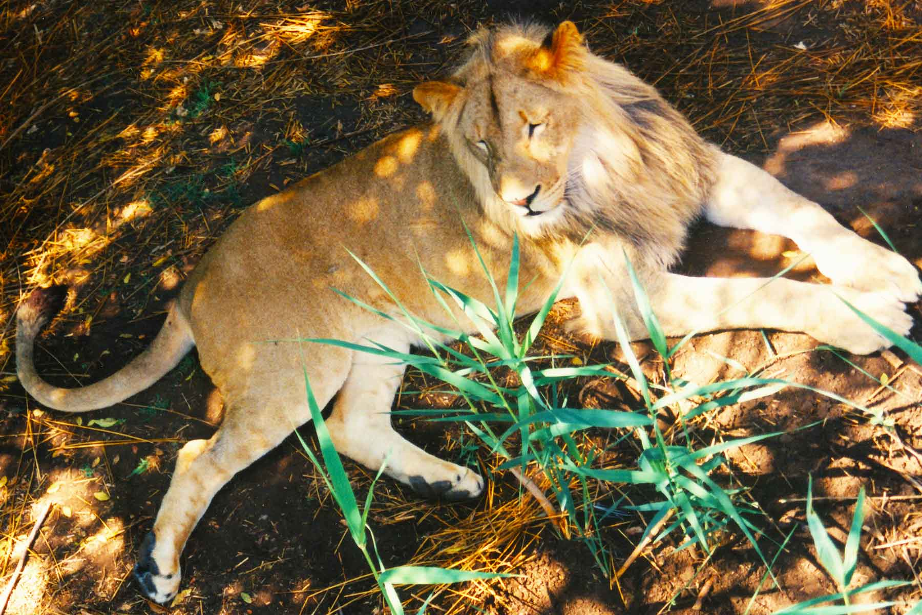 Lion - Steven Andrew Martin - South Africa Photo Journal - Personal Biographics