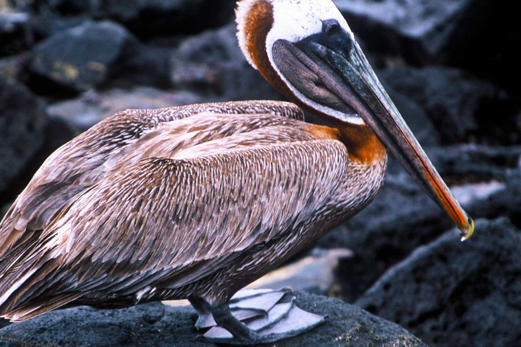 Galapagos Brown Pelican | USFQ | Dr Steven A Martin | Research Photo Journal | Environmental Studies