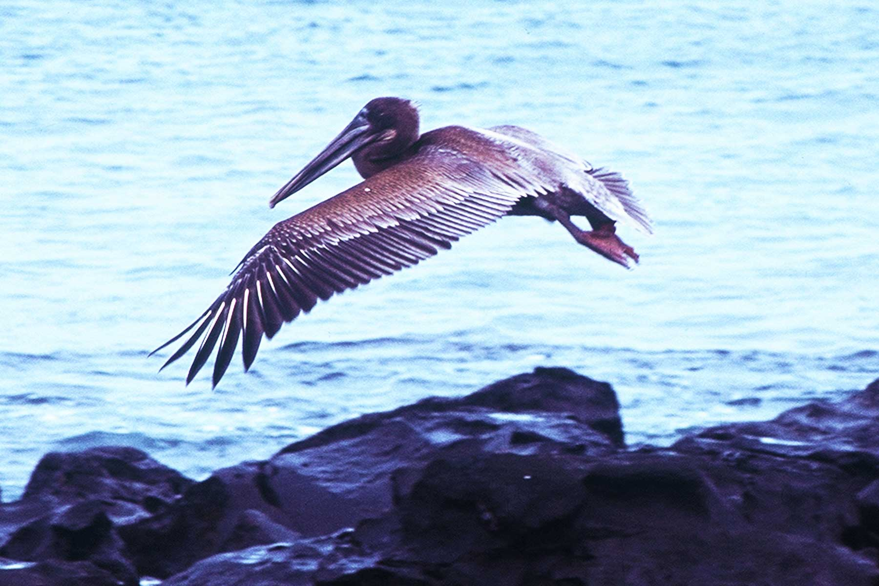 Galapagos Brown Pelican | Darwin | Dr Steven A Martin | Study Abroad Photo Journal | Environmental Studies