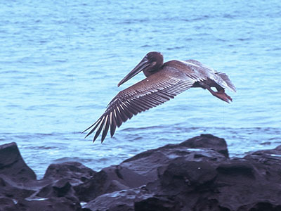 Galapagos Brown Pelican - Dr Steven Andrew Martin -  Ecuador Photo Journal - Environmental Studies