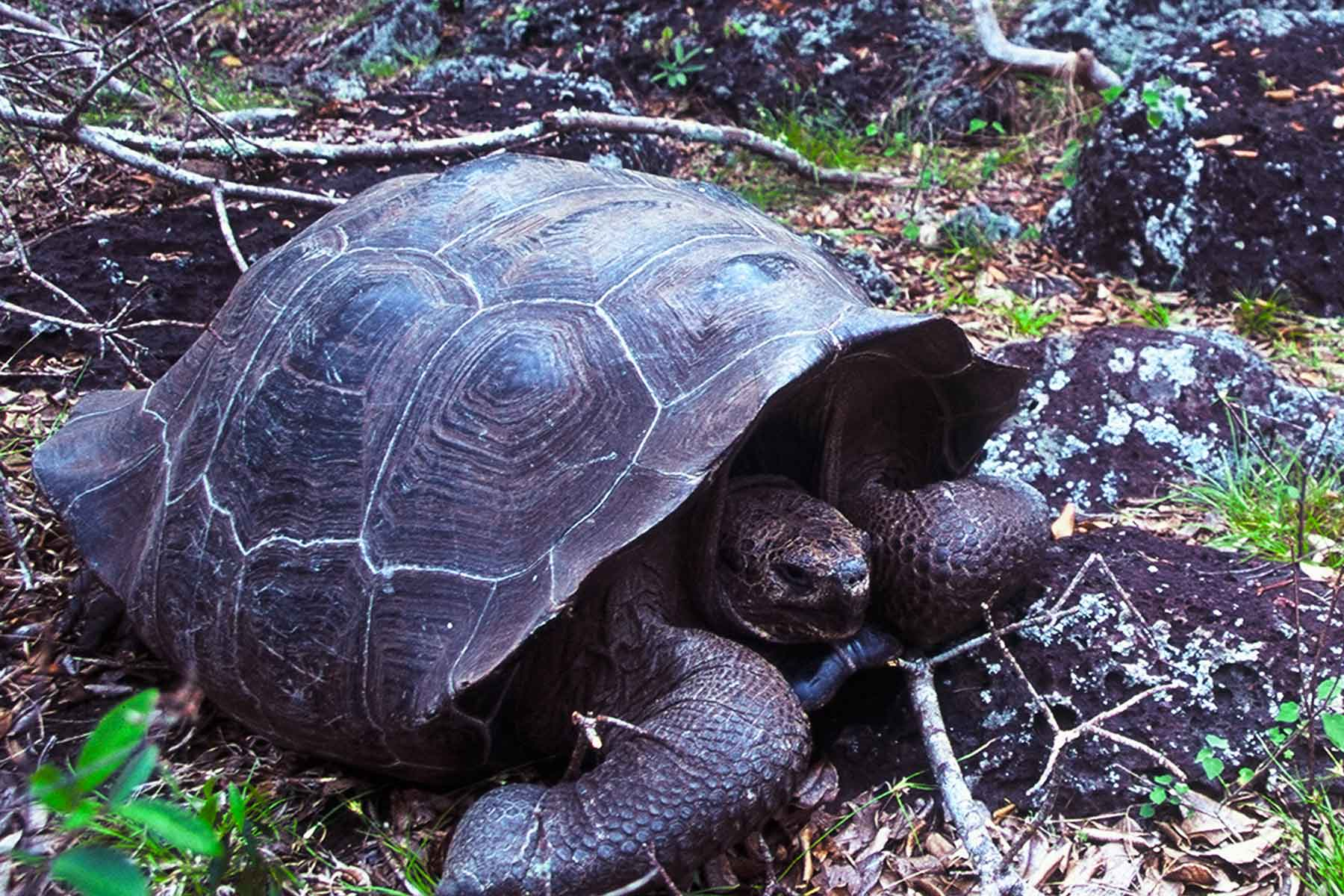 Galapagos Tortoise | USFQ | Steven Andrew Martin PhD | Environmental Research | Study Abroad Journal
