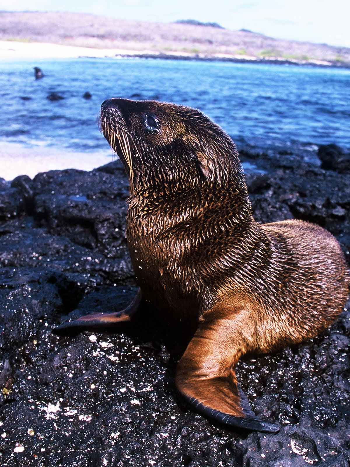 Baby Seal | Galapagos Research | Study Abroad Journal 2003 | Steven Andrew Martin | Environmental Studies