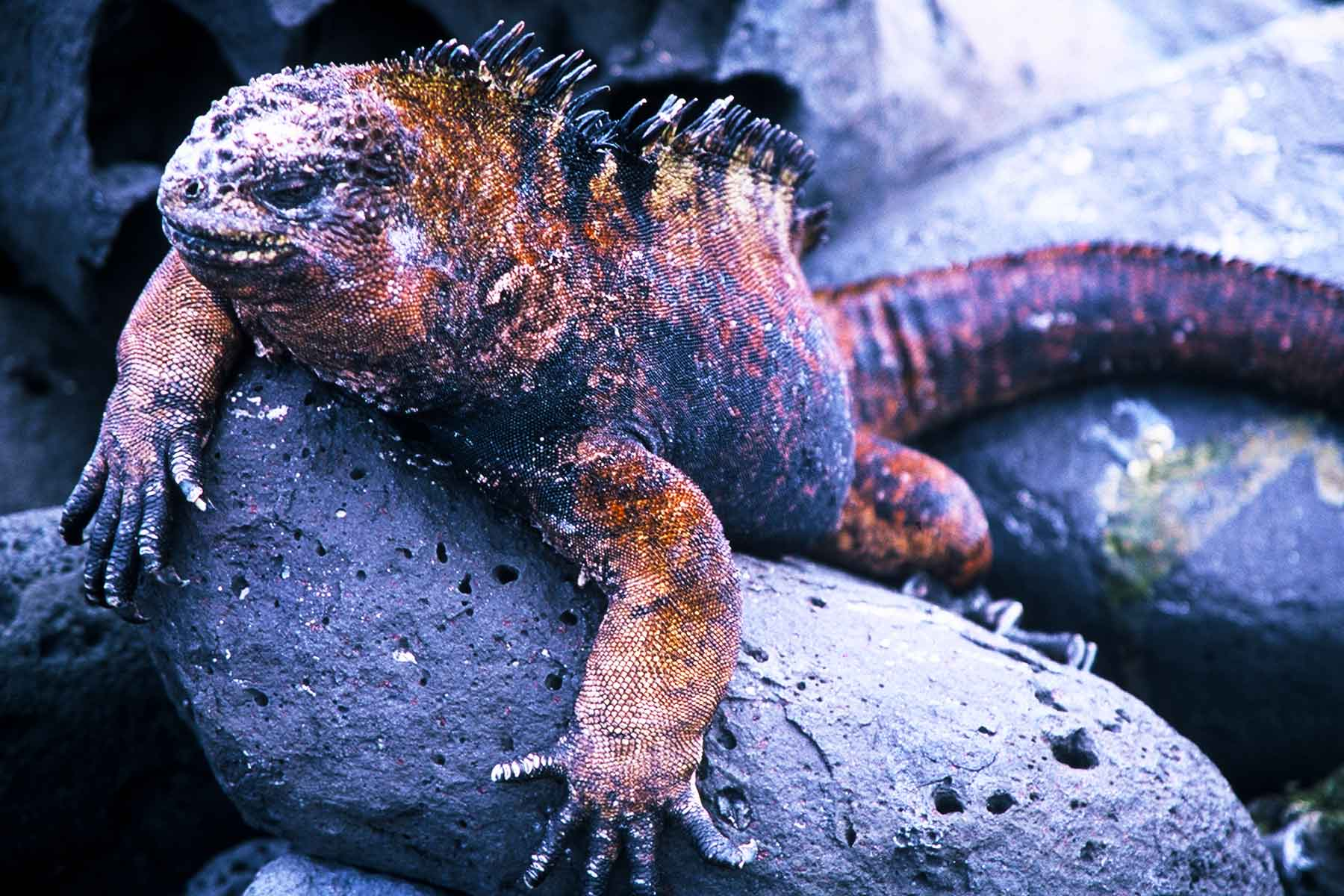 Galapagos Marine Iguana | Steven Andrew Martin | Photo Journal | Ecuador Research | Environmental Studies