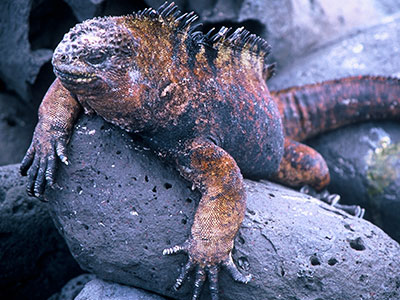 Galapagos Marine Iguana - Steven Andrew Martin Photo Journal - Environmental Studies