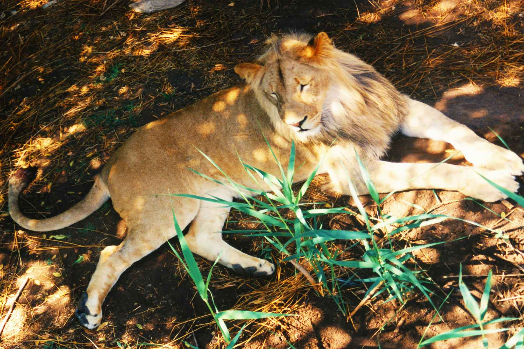 Lion - Steven Andrew Martin - South Africa Safari - Photo Journal - Dr. Steven A. Martin - International Education Online
