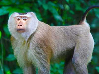 Environmental Studies - Dr Steven Andrew Martin - Monkey at Khao Yai National Park, Thailand