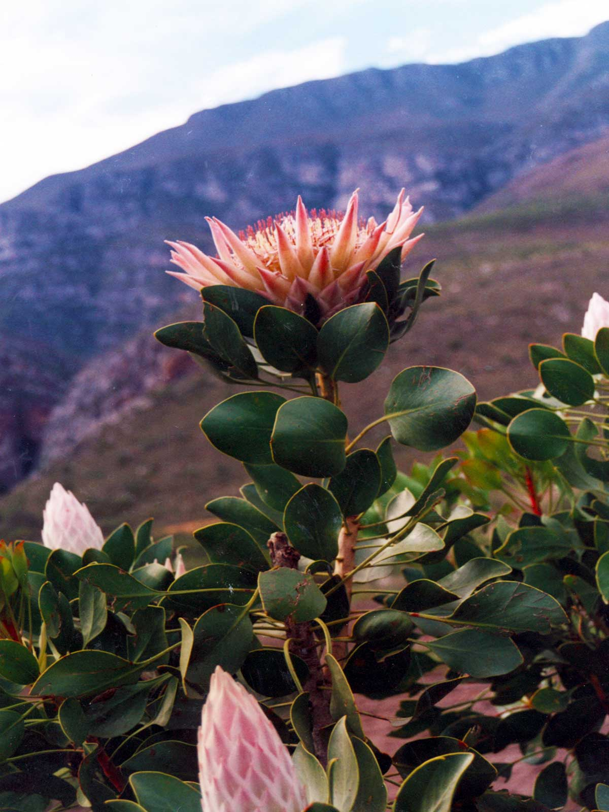 Protea, Western Cape, South Africa | Study in Cape Town | Steven Andrew Martin PhD | School for International Training