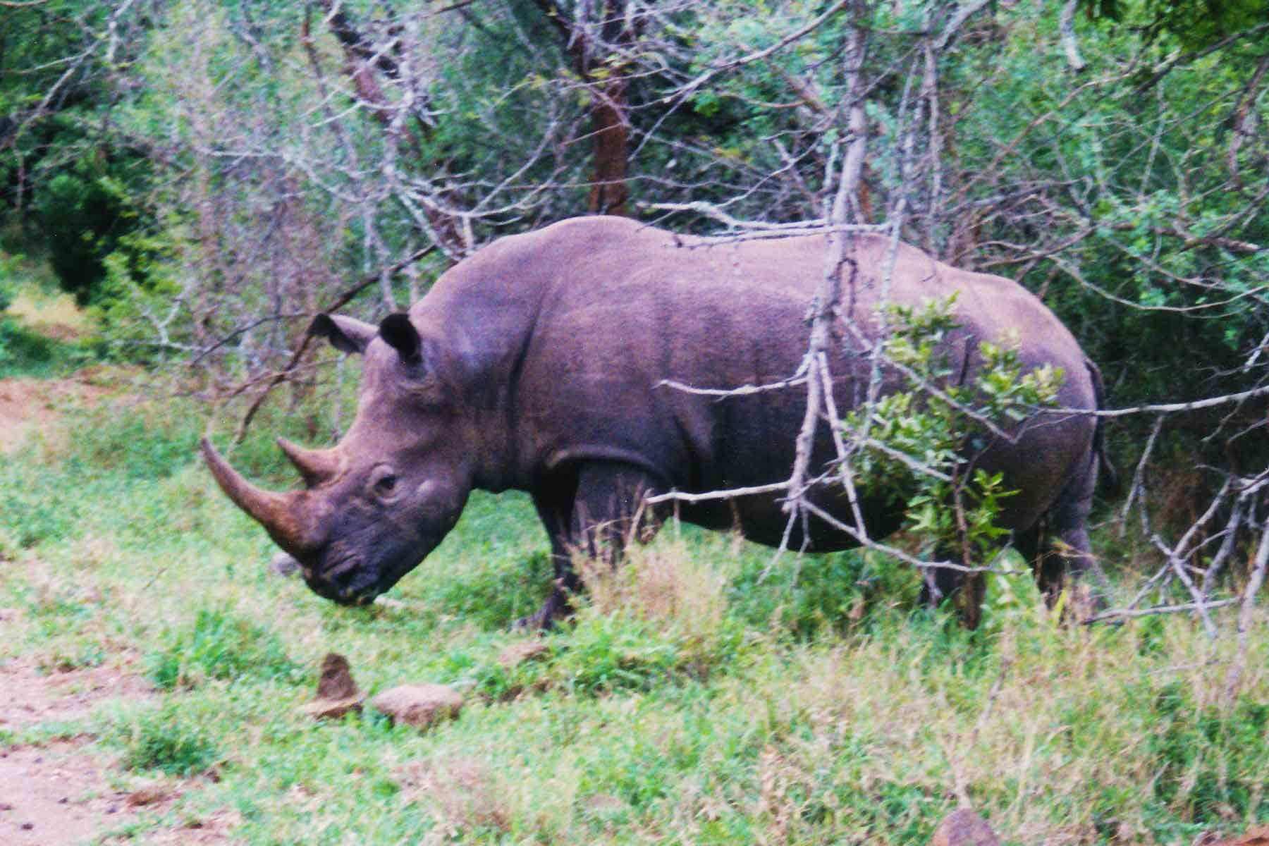 Rhino - Hluhluwe-Umfolozi Game Reserve - Steven Andrew Martin - South Africa Photo Journal - International Education Online