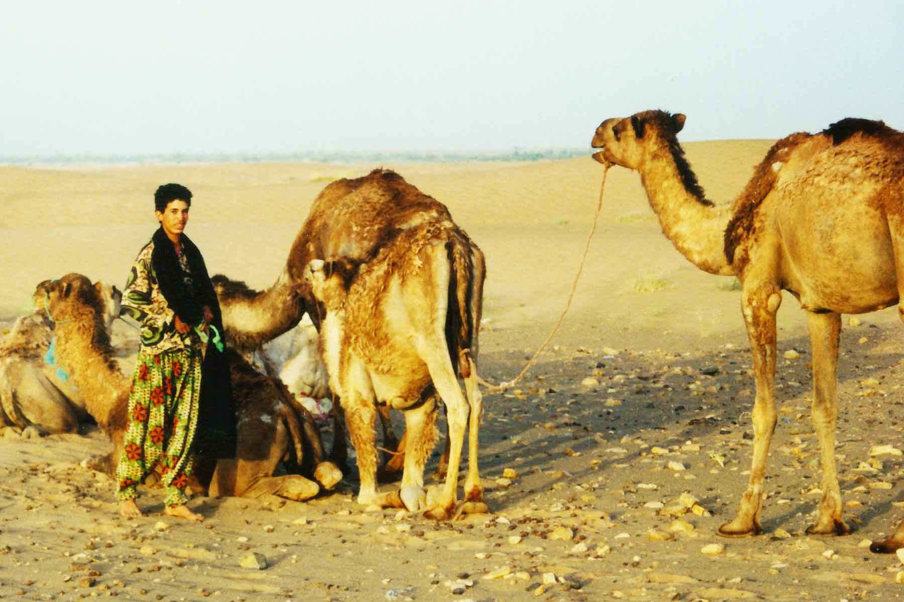 Camels - Sahara Desert - Morocco - Study Abroad - Steven Andrew Martin - Spain Photo Journal