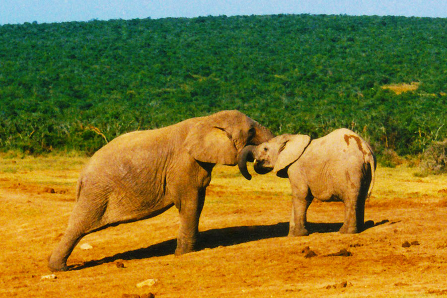Addo Elephant National Park, South Africa 1997 - Steven Andrew Martin - Jewel of Travel