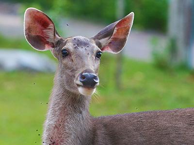 Environmental Studies - Dr Steven Andrew Martin - Deer at Khao Yai National Park, Thailand
