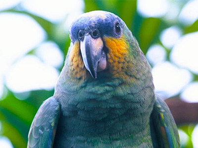 Environmental Studies - Amazon River Parrot - Dr Steven A Martin
