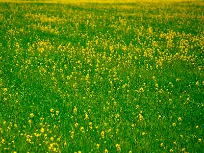 Rapeseed - Tibet Photo Journal - Steven Andrew Martin