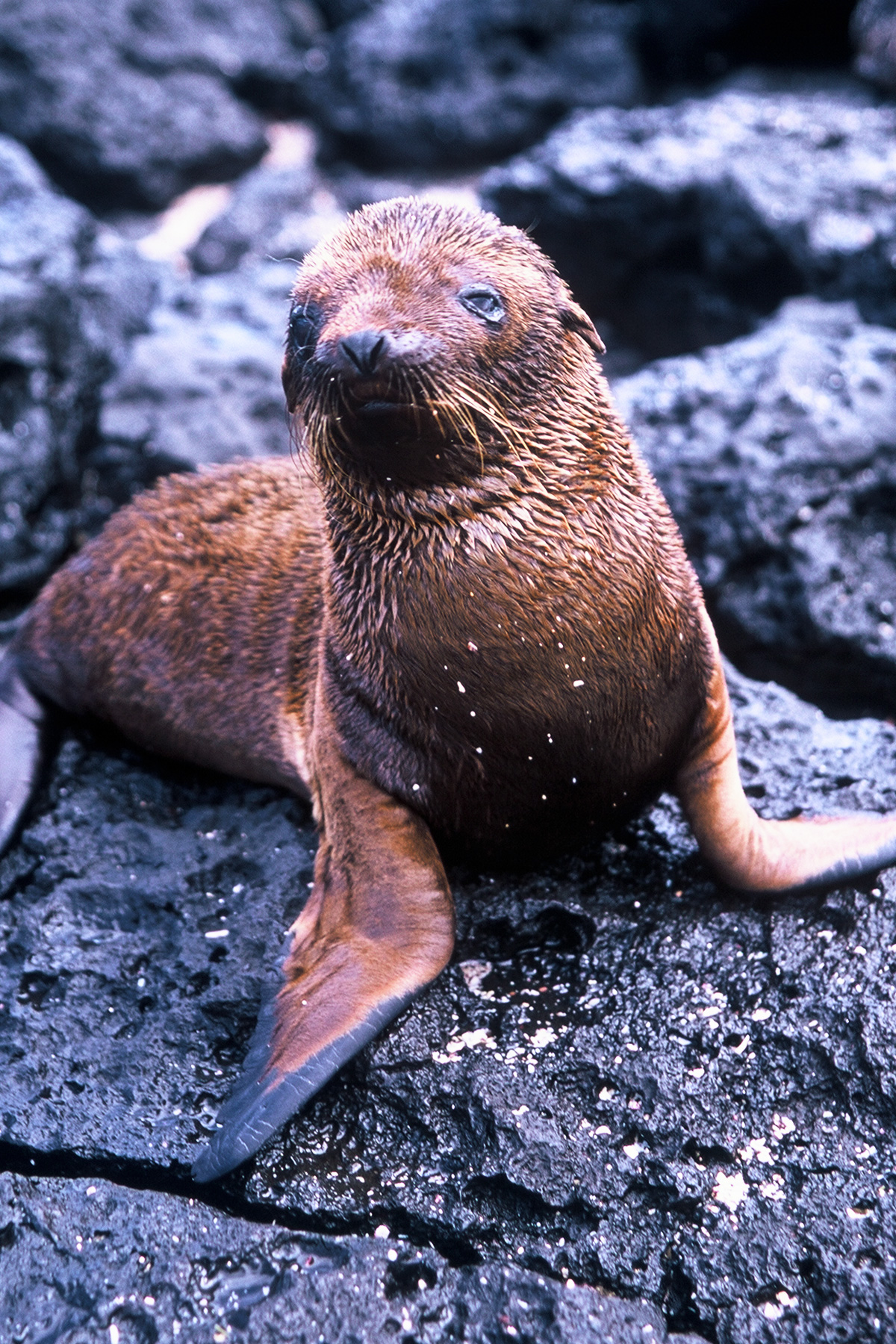 Baby seal at San Cristobal | Galapagos - Steven Martin - Learning Adventures - Study Abroad Journal