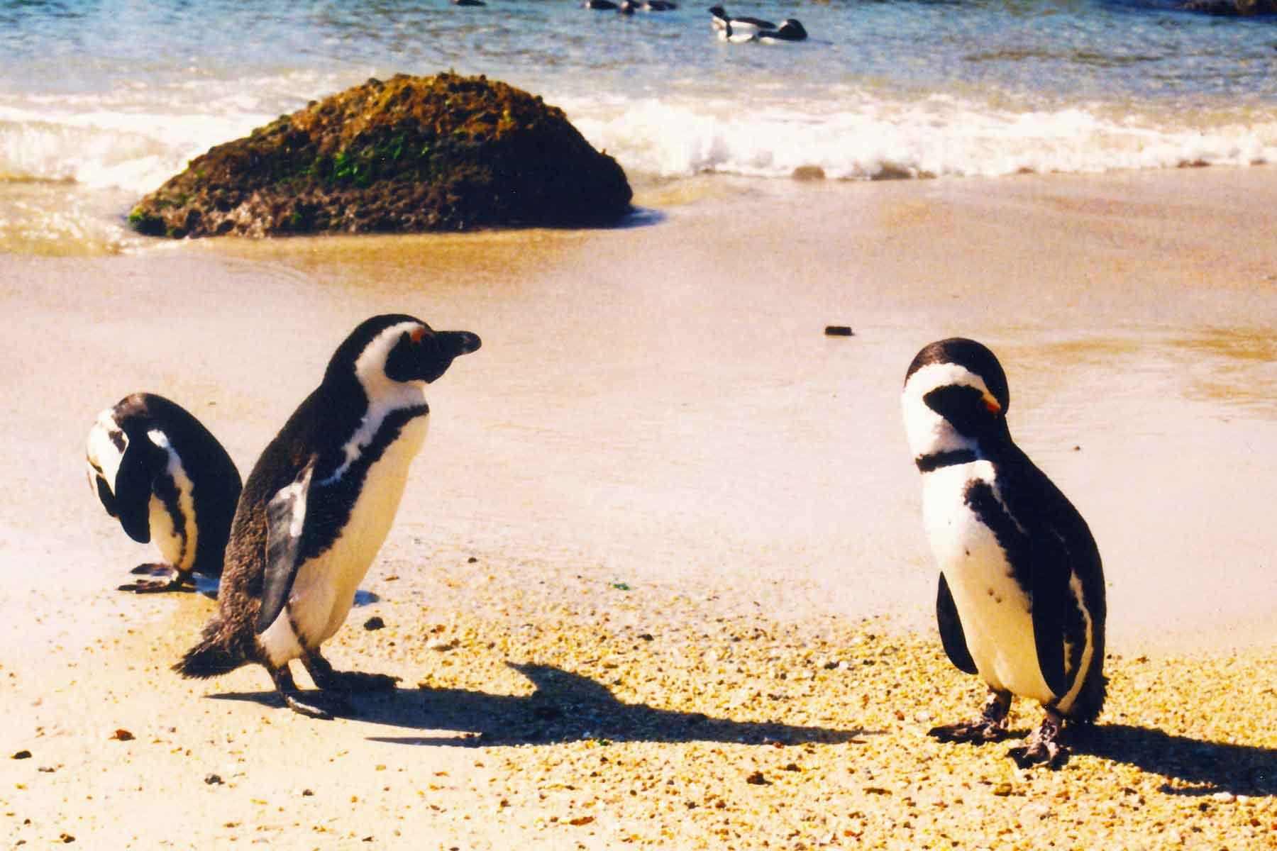 Cape Penguins | Simon's Town | Western Cape | South Africa | Steven Andrew Martin | International Education Online
