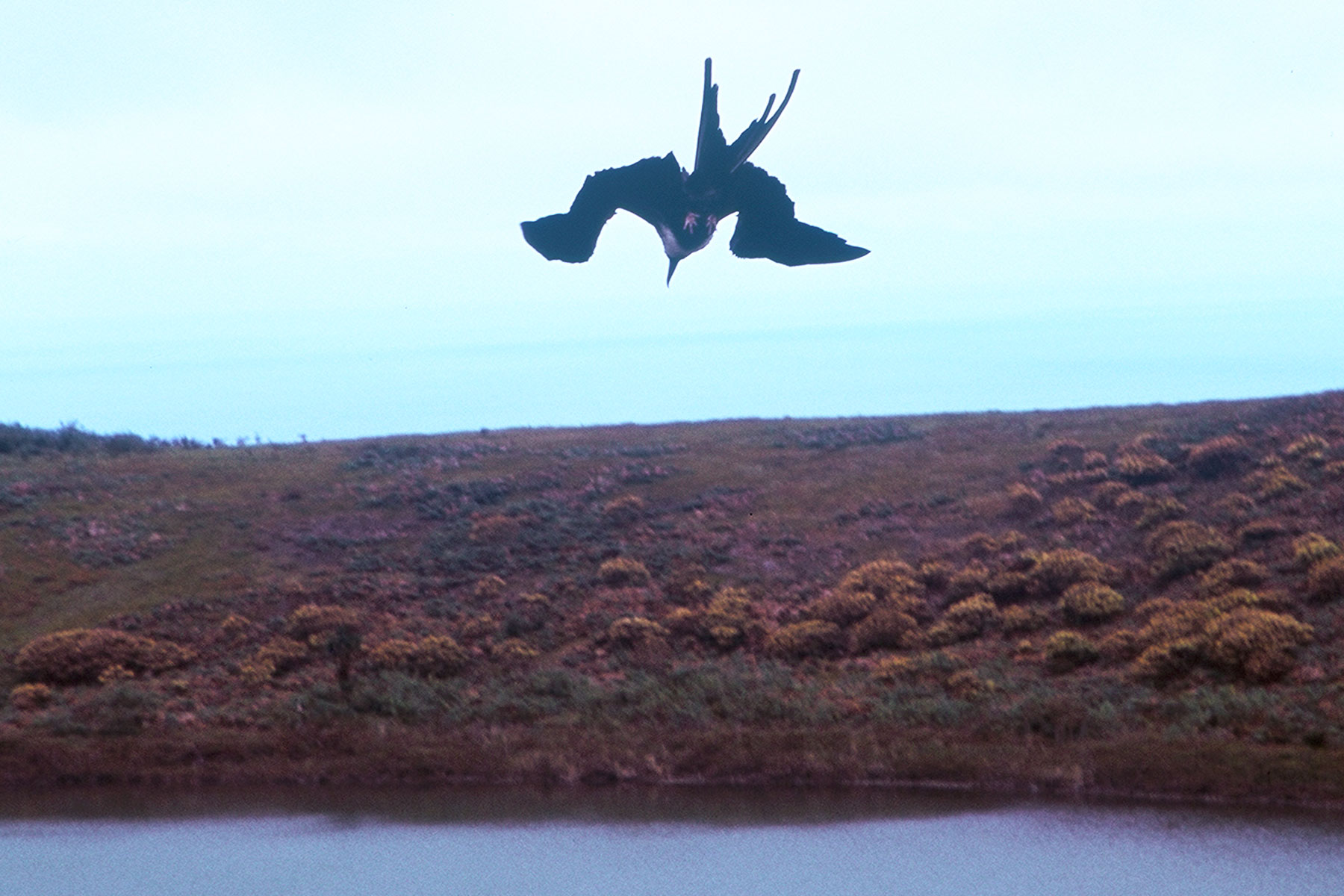 Frigatebird at Crater Lagoon (El Junco) | Steven Andrew Martin | Galapagos Study Abroad Journal