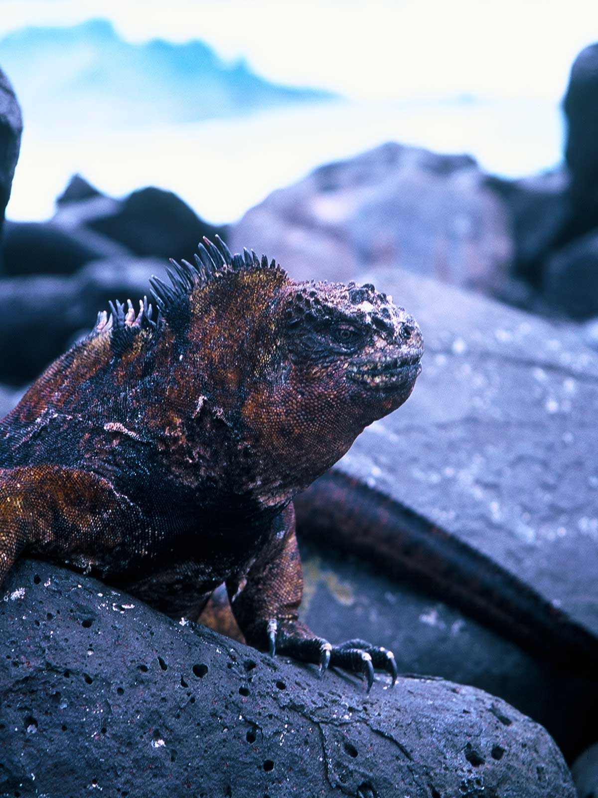 Galapagos Marine Iguana | Surfing Galapagos