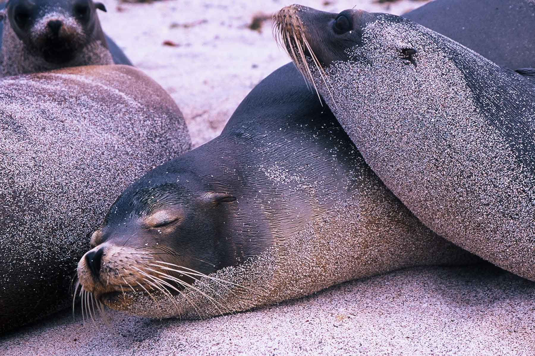 Galapagos Seals | Dr Steven Andrew Martin | Study Abroad Journal | USFQ Semester Abroad