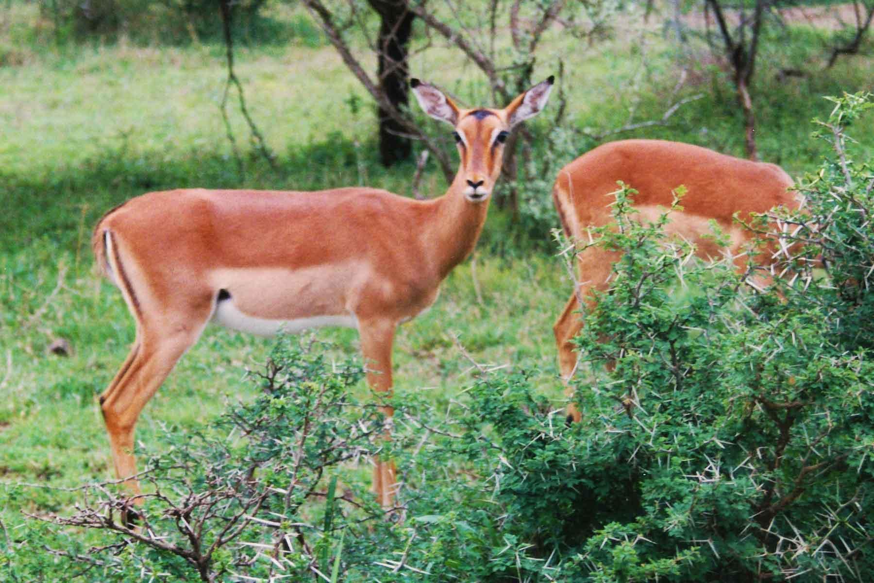 Deer - Hluhluwe-Umfolozi Game Reserve - Steven Andrew Martin - South Africa Photo Journal - International Education Online