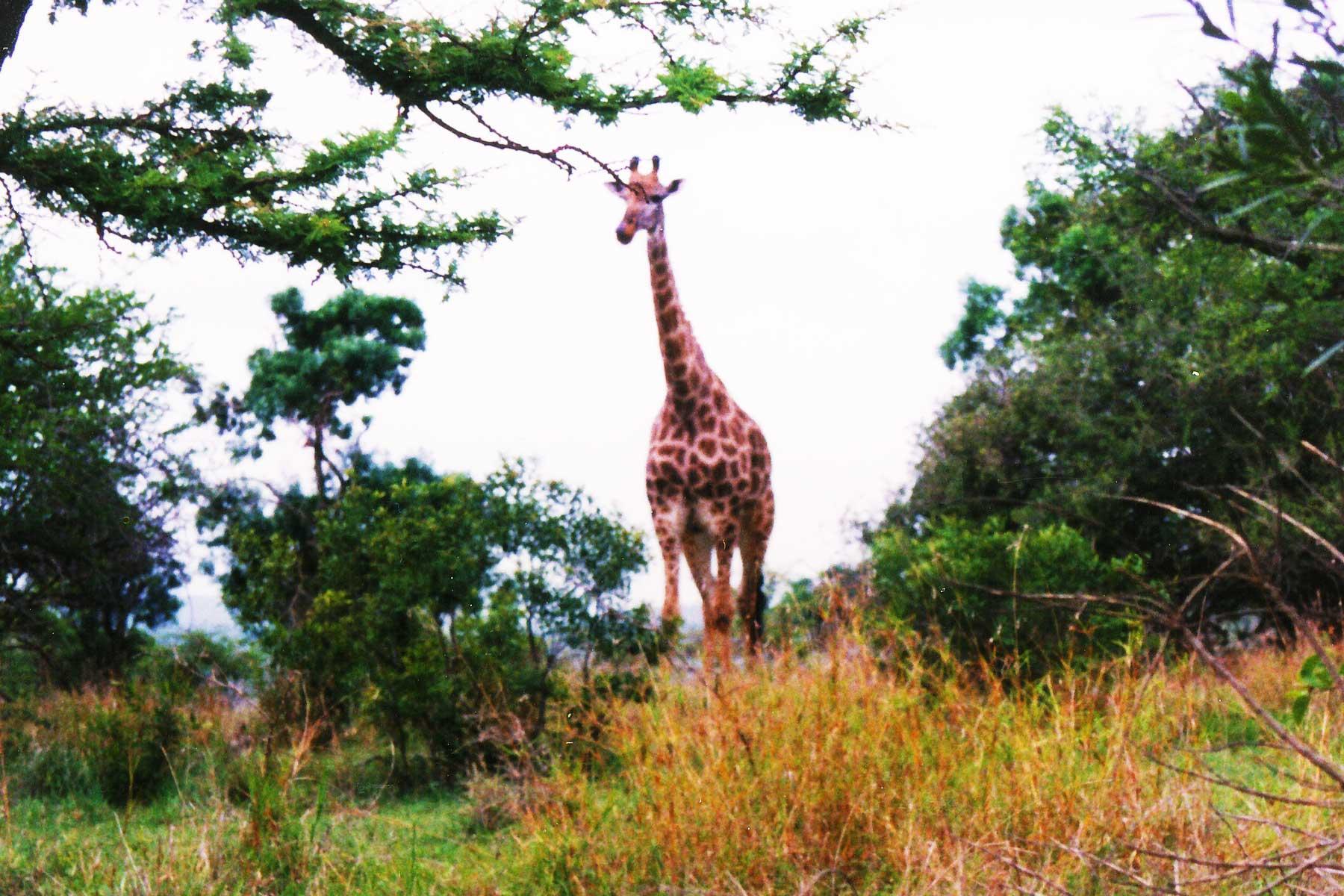 Giraffe - Hluhluwe-Umfolozi Game Reserve - Steven Andrew Martin - South Africa Photo Journal - international education online