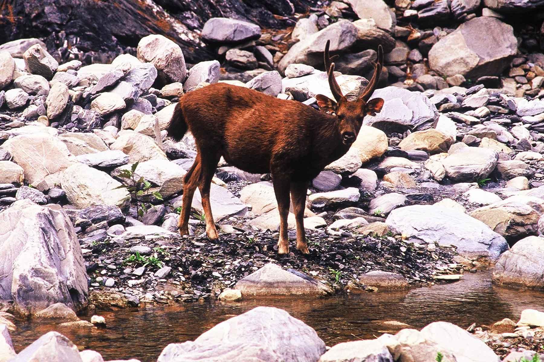 Bunun Hunting Taiwan Deer at 內本鹿 Laipunuk Photo Journal - Steven Andrew Martin - Taiwan Studies