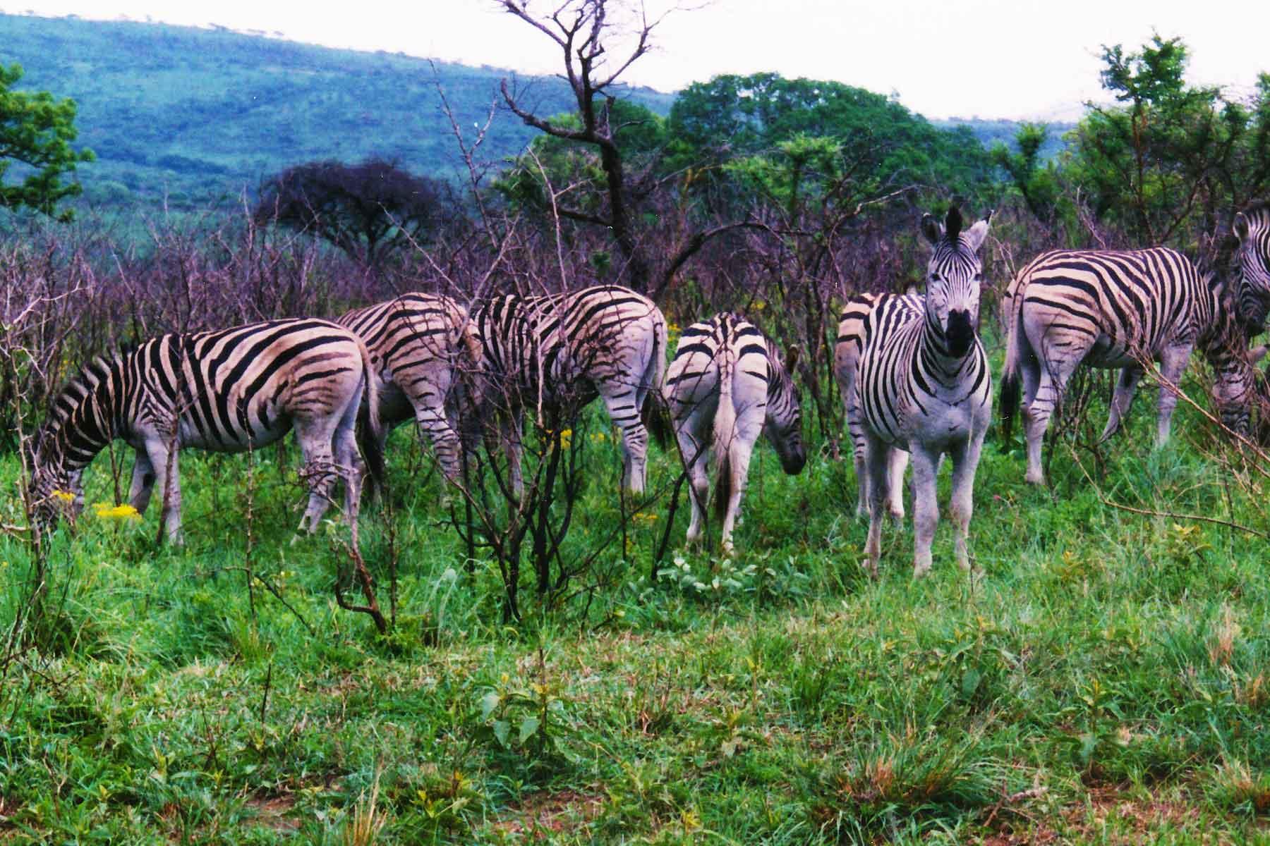 Zebras - Hluhluwe-Umfolozi Game Reserve - Steven Andrew Martin - South Africa Photo Journal - International education online